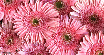 It's Just Pink - Pink Gerbera Daisies