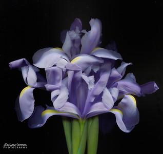 Catalog #3006 - Iris Bouquet - Dutch Iris