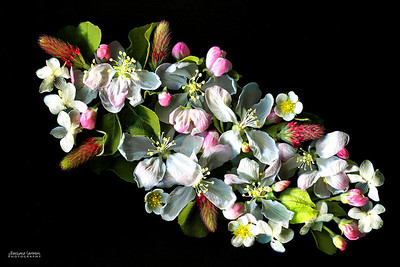 Apple Blossoms - Apple blossoms, red clover and wild strawberry flowers.