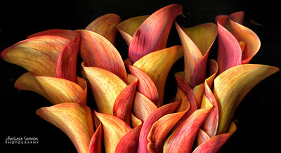 Catalog #3002 - Petals in Motion - Calla lily flowers tucked together.