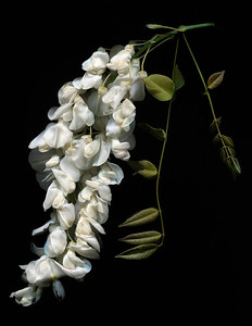 Catalog #3009 - Wisteria Magic - White Wisteria