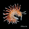 Flabellina falkandica<br /> South Georgia, Antarctica