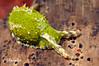 Oxynoe viridis<br /> Anilao, Philippines