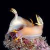 Hypselodoris bullockii, mating pair.<br /> East Coast, Malaysia