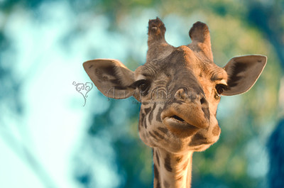Perplexed Giraffe