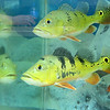 """A new aquatic pet store will open soon on Main Street in Fitchburg called """"Exotic Aquatics."""" This fish at the store is called a Peacok Bass becauseof the spot on their tail fins that resembles the eyes on a peacock's tail feathers. SENTINEL & ENTERPISE/JOHN LOVE"""