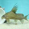 """A new aquatic pet store will open soon on Main Street in Fitchburg called """"Exotic Aquatics."""" This fish at the store is called a hi-fin catfish. SENTINEL & ENTERPISE/JOHN LOVE"""