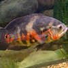 """A new aquatic pet store will open soon on Main Street in Fitchburg called """"Exotic Aquatics."""" This fish at the store is called an Oscar and is from South America. SENTINEL & ENTERPISE/JOHN LOVE"""