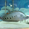 """A new aquatic pet store will open soon on Main Street in Fitchburg called """"Exotic Aquatics."""" This fish at the store is called a clown knife and is native to freshwater habitats in Cambodia, Laos, Thailand and Vietnam. SENTINEL & ENTERPISE/JOHN LOVE"""