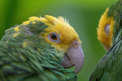 Ataractic Verde