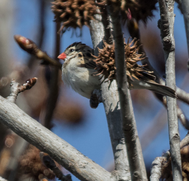 Pin-tailed Whydah Rossmoor 2019 01 09-1.CR2