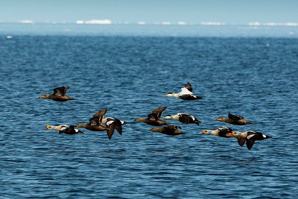 Eider and King Eider Ducks, Admiralty Inlet, Baffin Island, Canada