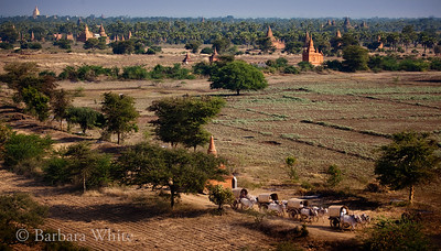 Wagon Train Leaving Bagan