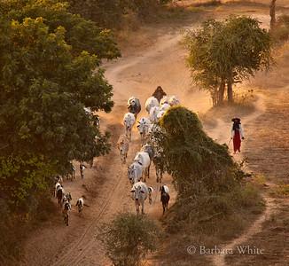 Herding The Livestock