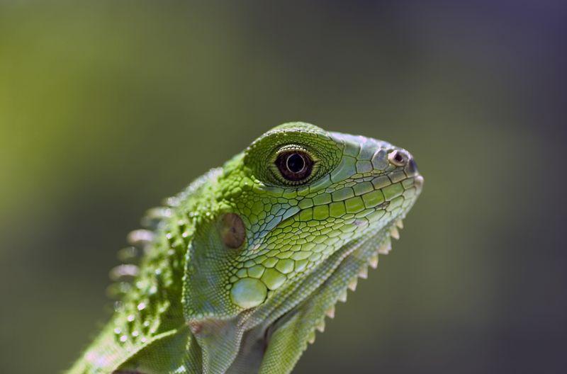 Iguana Iguana 4