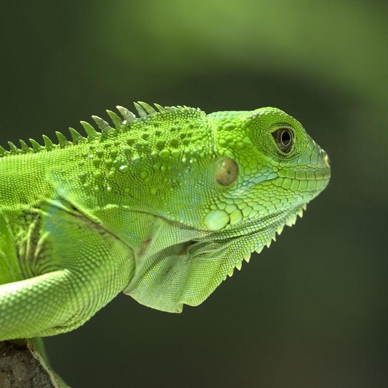 Iguana Iguana 1