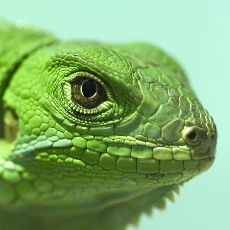 Iguana Iguana 0c