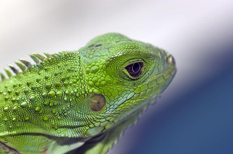 Iguana Iguana 5