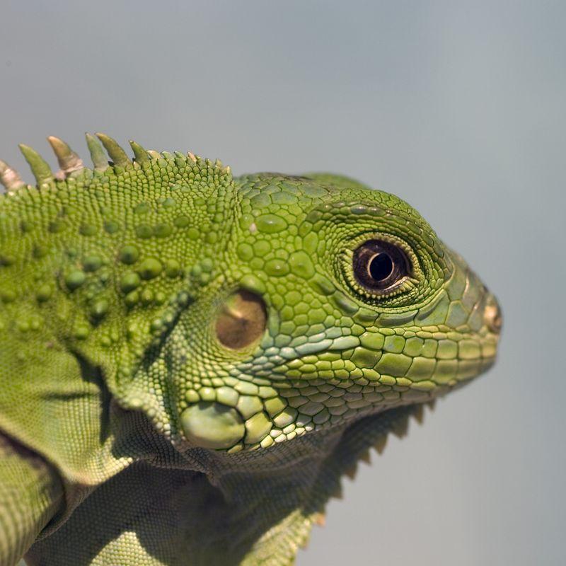 Iguana Iguana 6c