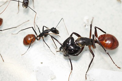 Exotic ant species