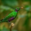 Emerald Starling II