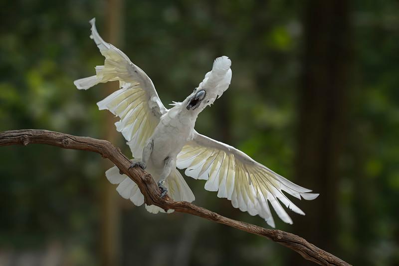 Umbrella Cockatoo I