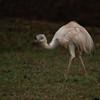 Emu - Juvenile