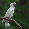 Umbrella Cockatoo I