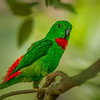Blue-capped Hanging Parrot