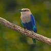 Blue-bellied Roller