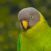 Plum-headed Parakeet Female