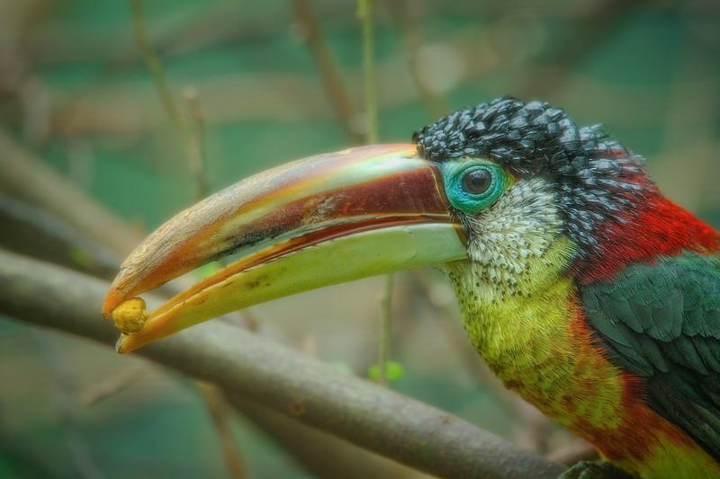 Guianan-Toucanet Toucan