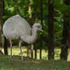 Leusistic Ostrich 1