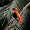 Red Bishop Bird - male