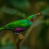Emerald Starling
