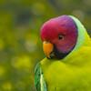 Plum-headed Parakeet-Male