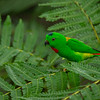 Blue-crowned Hanging Parrot II