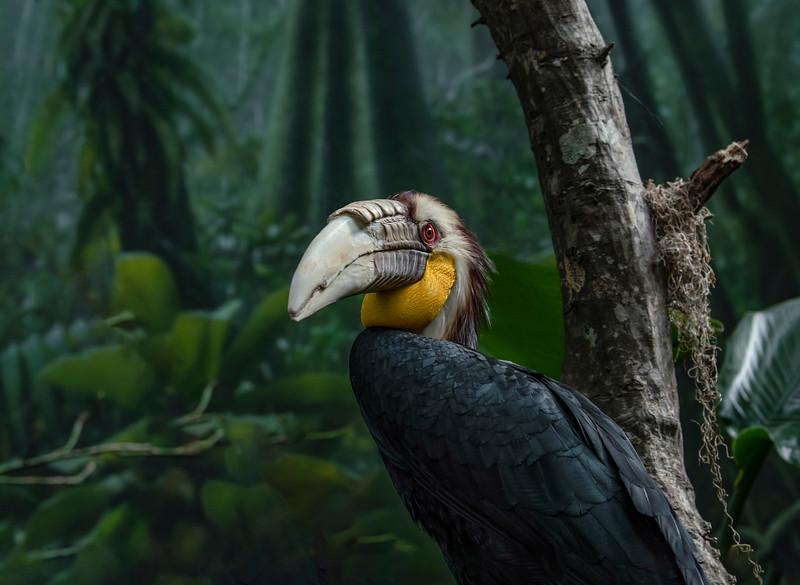 Wreathed Hornbill II