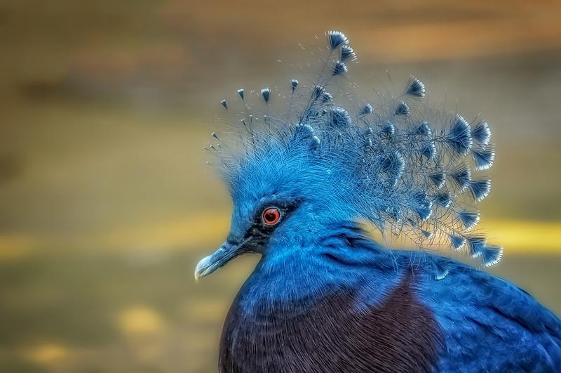 Victoria Crowned Pigeon III