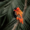 Red Bishop Bird - male