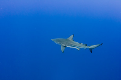 Ocean black tip shark in open blue water with remora attached
