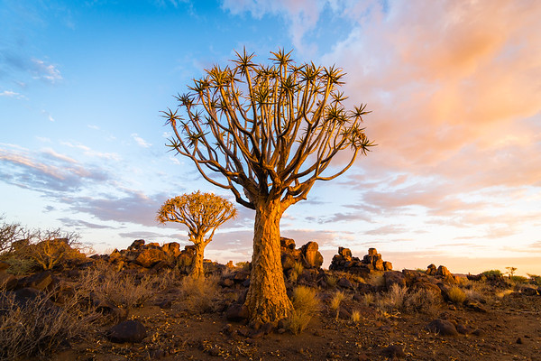 Quiver Tree in Southern Namibia 2017