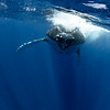 Crazy Humpback Whale