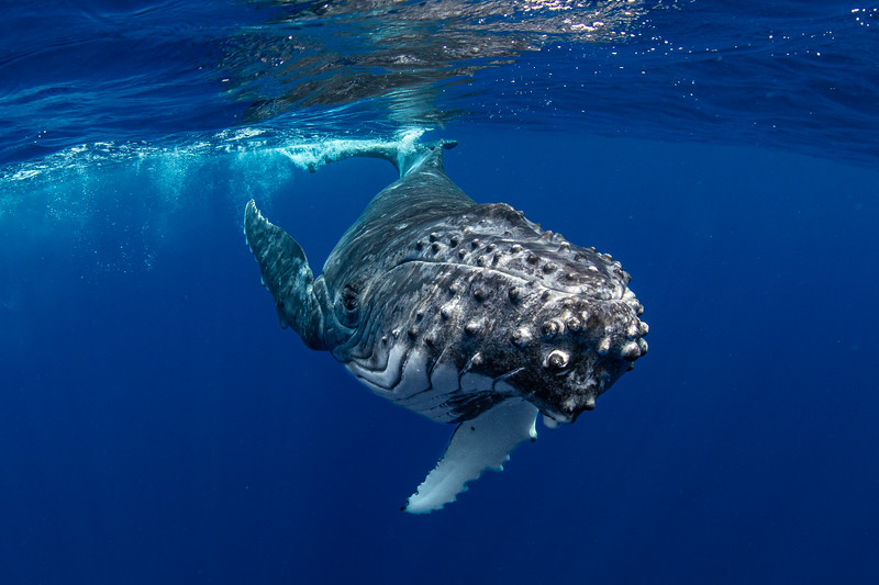 Baby Humpback Whale