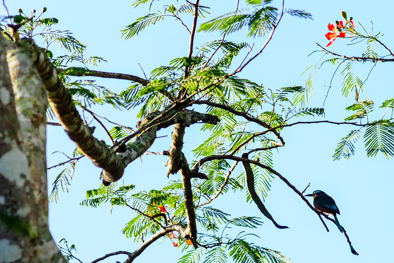 Blue-crowned Motmot - Yucatan, Mexico
