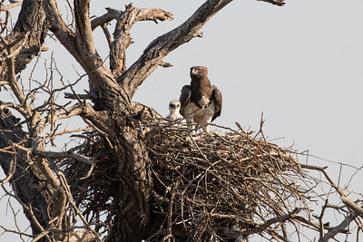 Martial Eagle with chick.