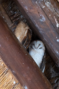 Sleeping Barn Owls