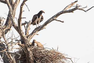 Martial Eagle family.