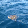 Sea turtle about 50cm in diameter, somewhere along the Attica penninsula