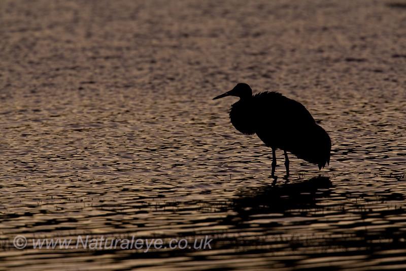 Sandhill Crane after Sunset
